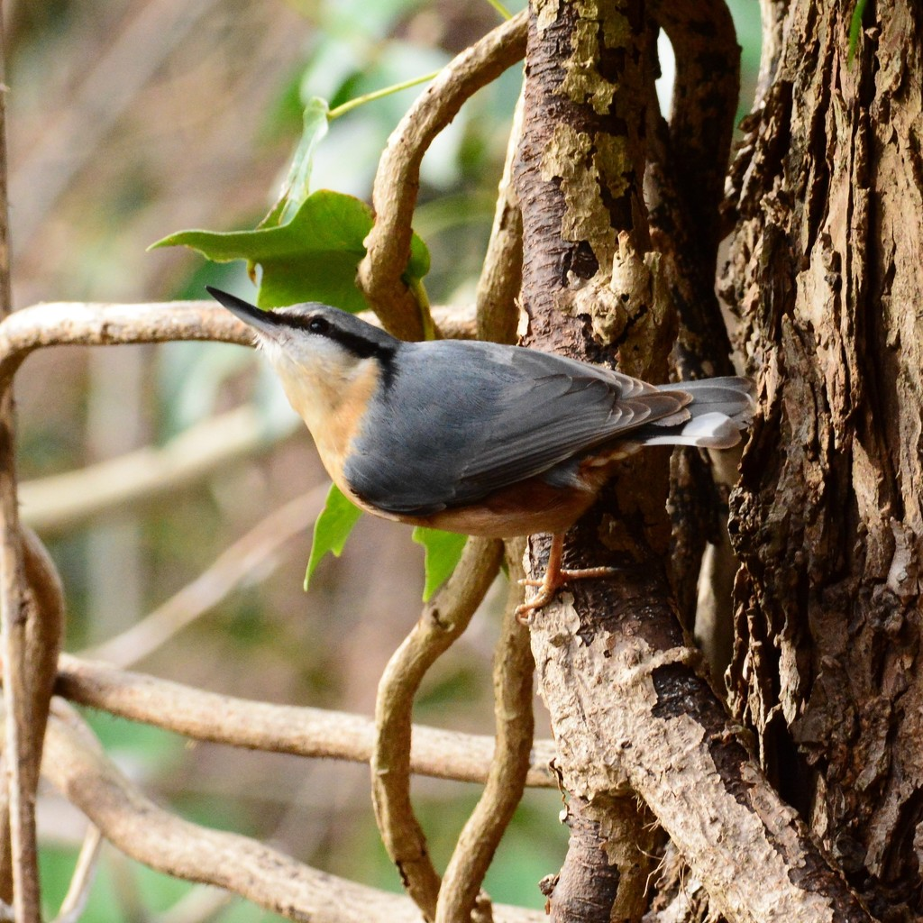 Return of the Nuthatch.......... by ziggy77