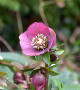 19th Feb 2021 - Hellebores