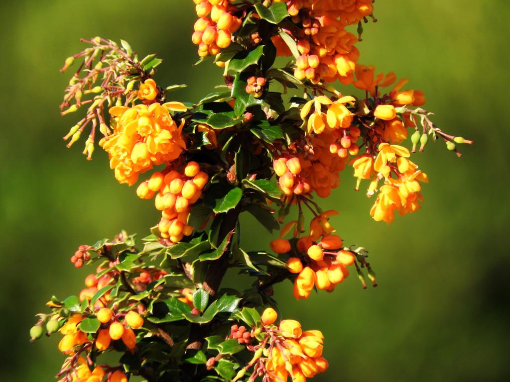 Grape Holly Shrub by seattlite
