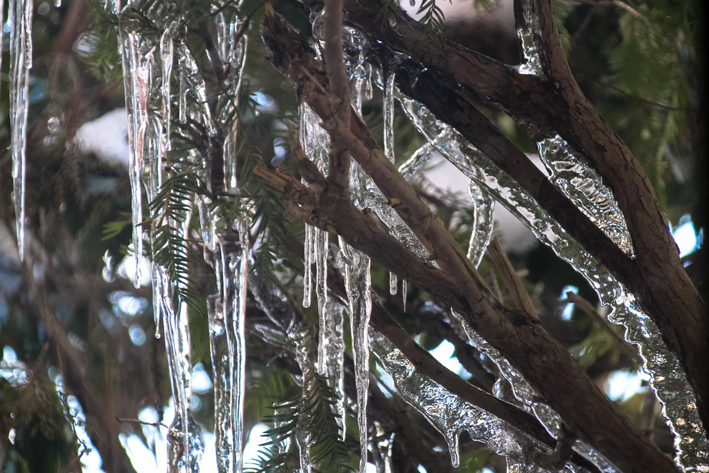 Icicles in my Yew bush by mittens