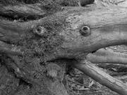 19th Feb 2021 - Trosley Monster
