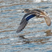 mallard in flight just over the river