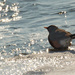 American robin at ice edge
