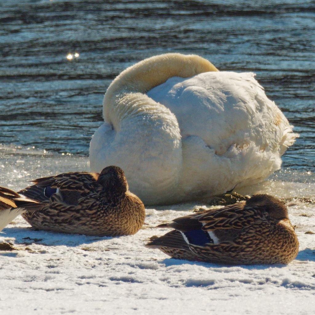 sleeping swan by rminer