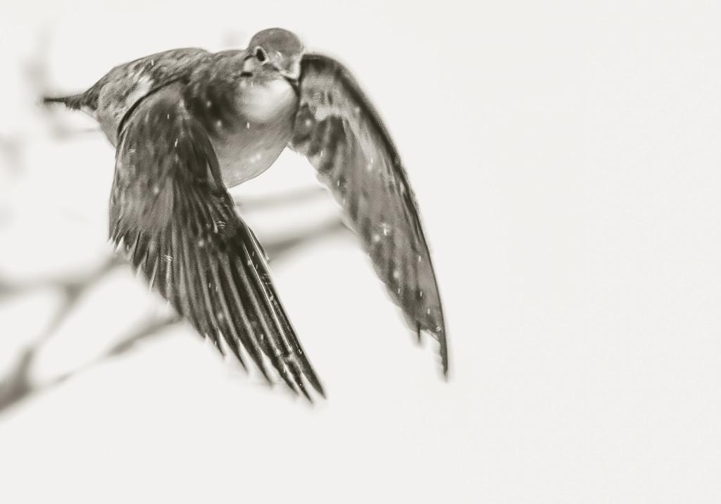 dove in flight by jernst1779