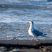 Seagull walking on beach Word of the Day: Walk