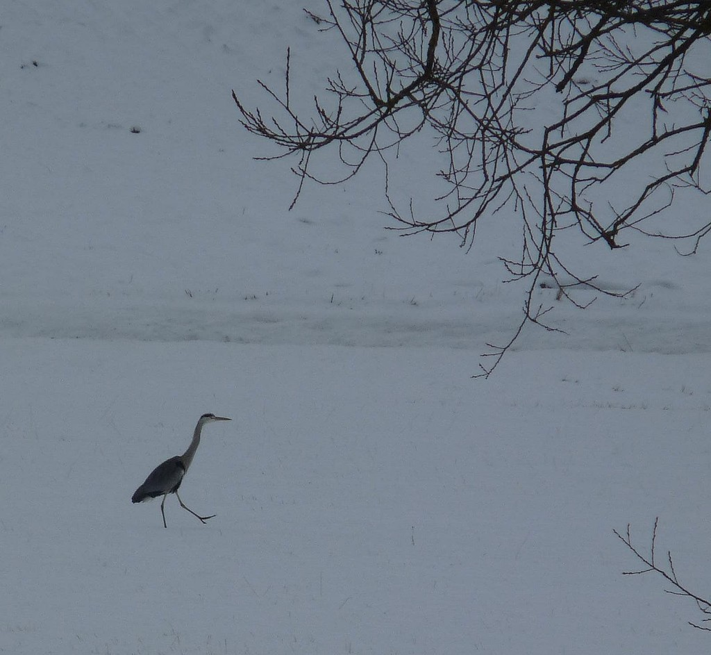 A Simple Winter Scene with a Walking Heron. by kclaire
