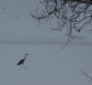 16th Feb 2021 - A Simple Winter Scene with a Walking Heron.