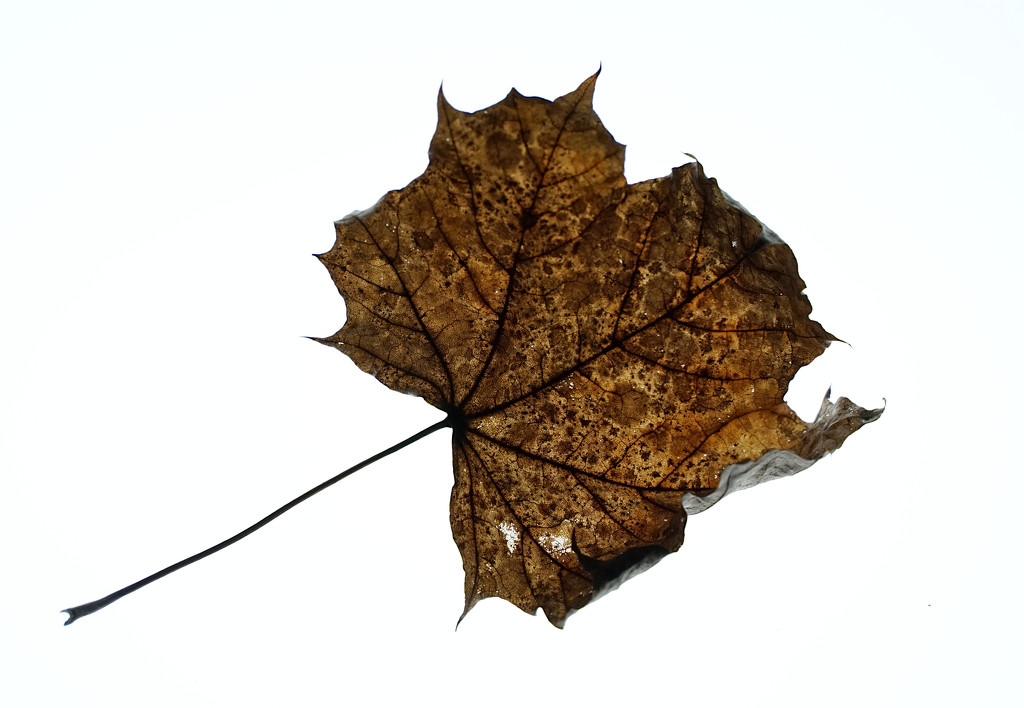 Winter leaf by phil_howcroft