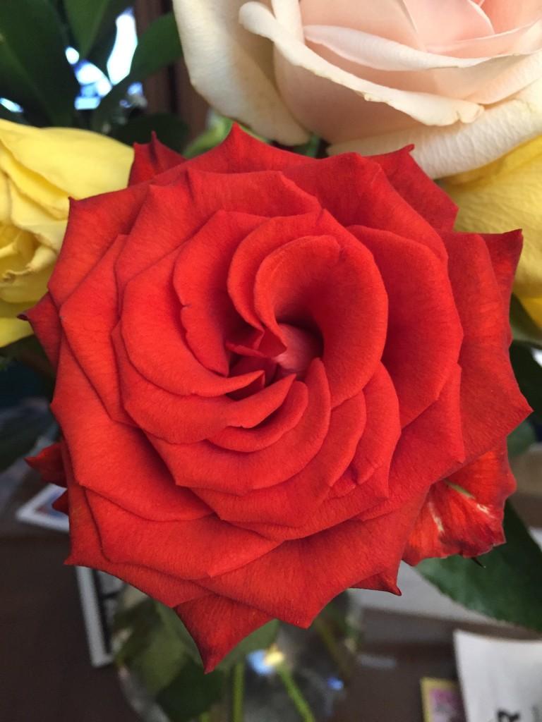 Rose petals  by kchuk