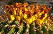 19th Feb 2021 - Fishhook Barrel Cactus