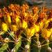 Fishhook Barrel Cactus