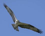"""19th Feb 2021 - """"fish hawk"""""""