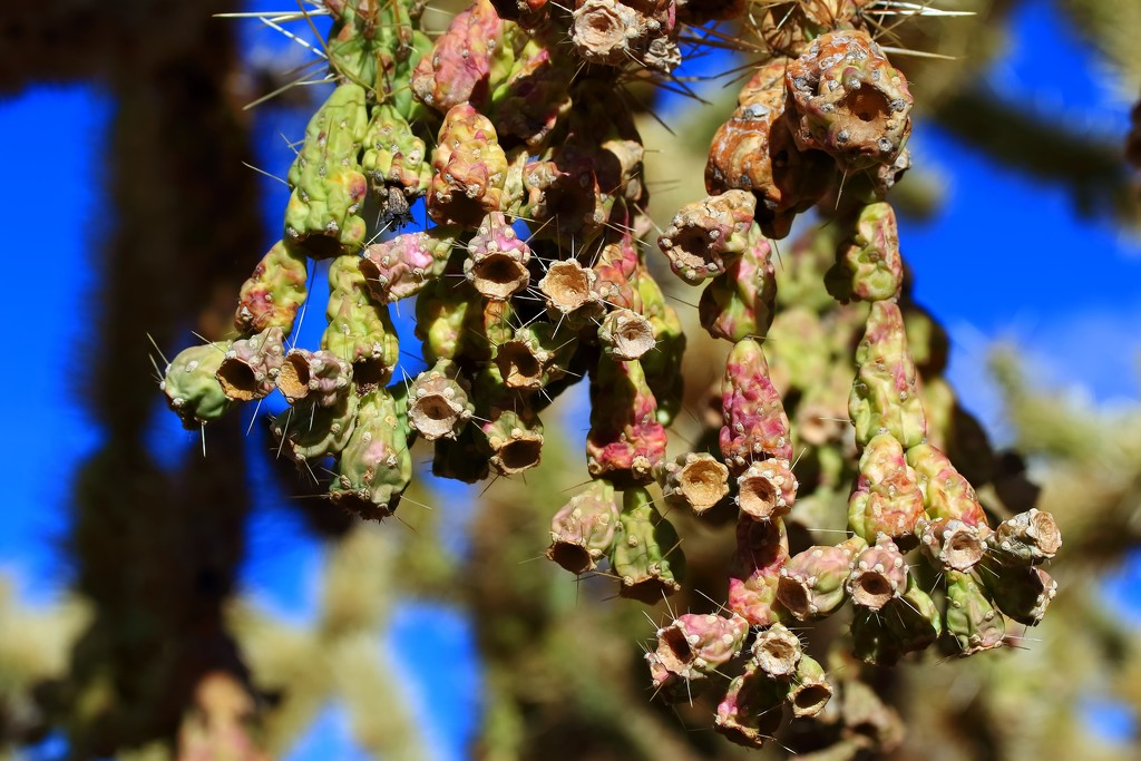 Chain fruit cholla by blueberry1222