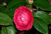 19th Feb 2021 - One More Camellia!