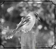 19th Feb 2021 - immature butcher bird