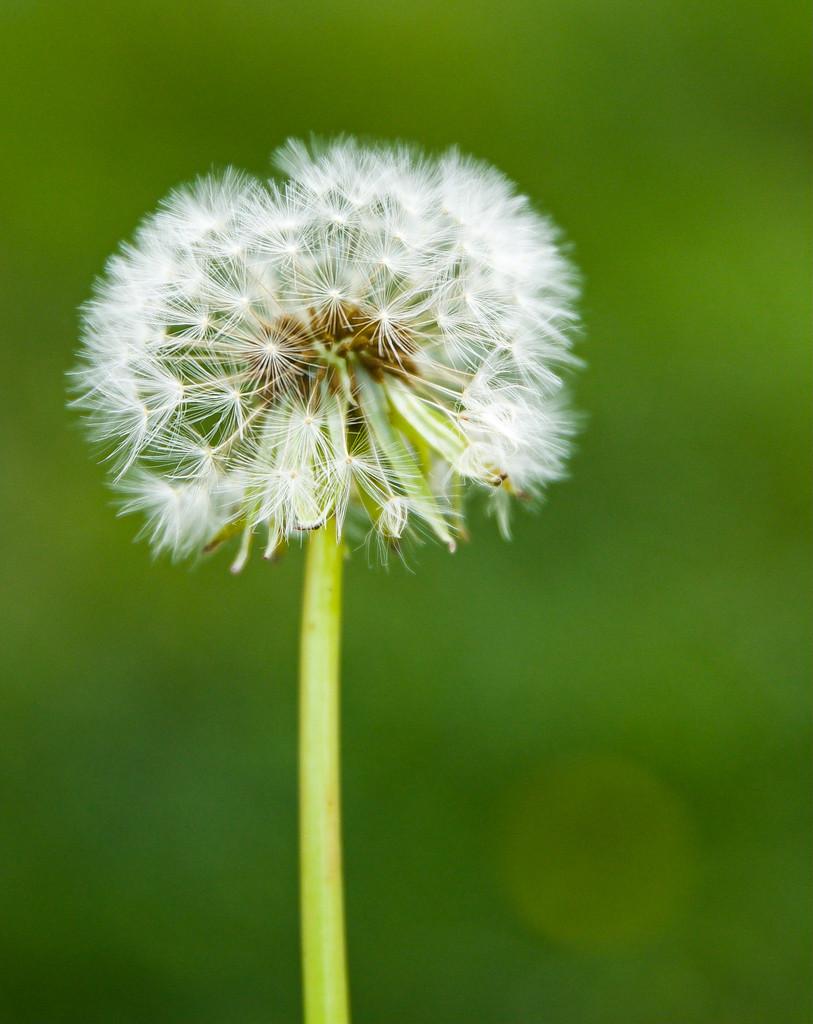 Dandelion by gapandgain