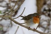 20th Feb 2021 - My first robin