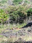 19th Feb 2021 - Hawaii goat