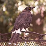 19th Feb 2021 - currawong in the morning.
