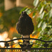 currawong in the evening light