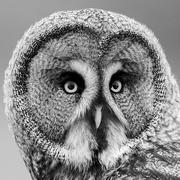 18th Feb 2021 - Owl portrait