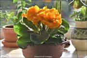 20th Feb 2021 - Spring flowers on my window sill