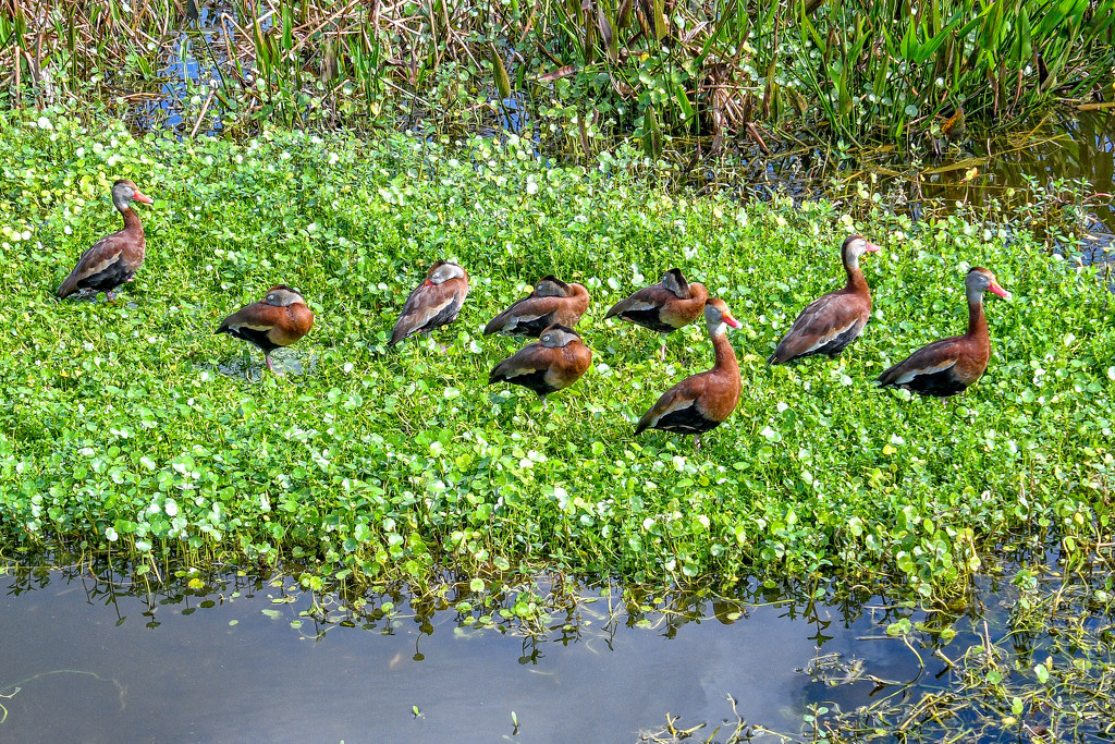 Ducks in a row by danette