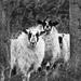 Sentry sheep