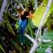 Thai Kingfisher