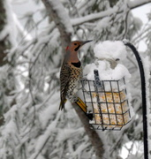 20th Feb 2021 - Another hungry bird.......