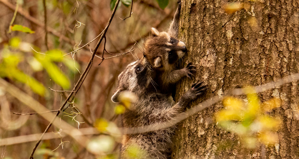 Mom, Bringing Baby Down From the Tree! by rickster549