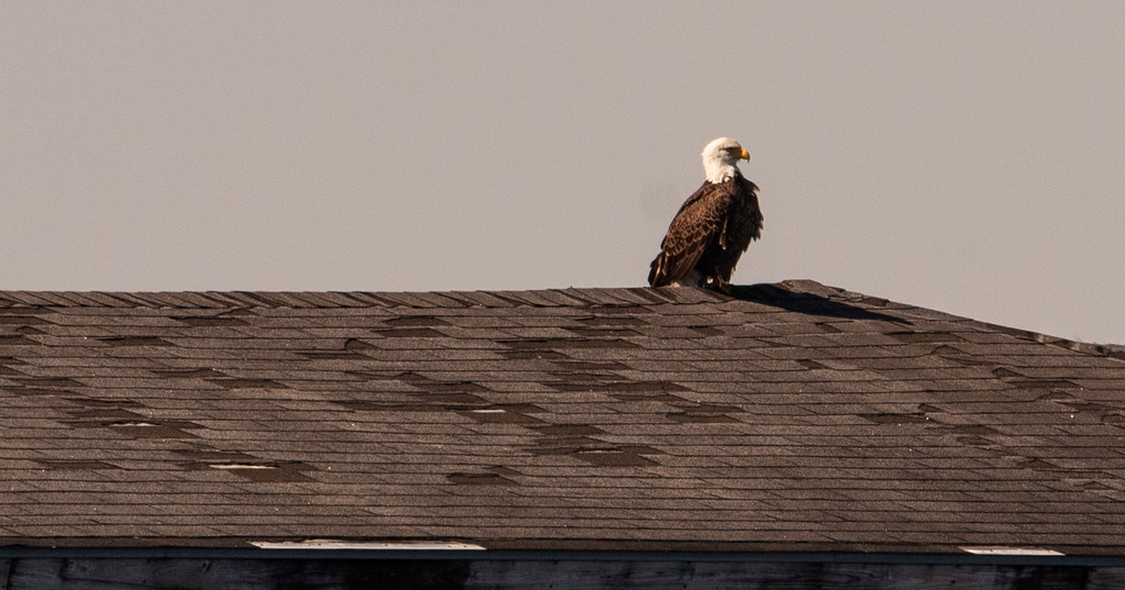 Saw One of the Bald Eagles on the Pier Roof! by rickster549