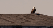 20th Feb 2021 - Saw One of the Bald Eagles on the Pier Roof!