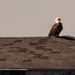 Saw One of the Bald Eagles on the Pier Roof!