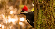 20th Feb 2021 - Mr Pileated Looking for More!