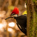 Mr Pileated Looking for More!