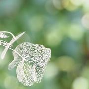 21st Feb 2021 - Old flower skeleton of the Hydrangea