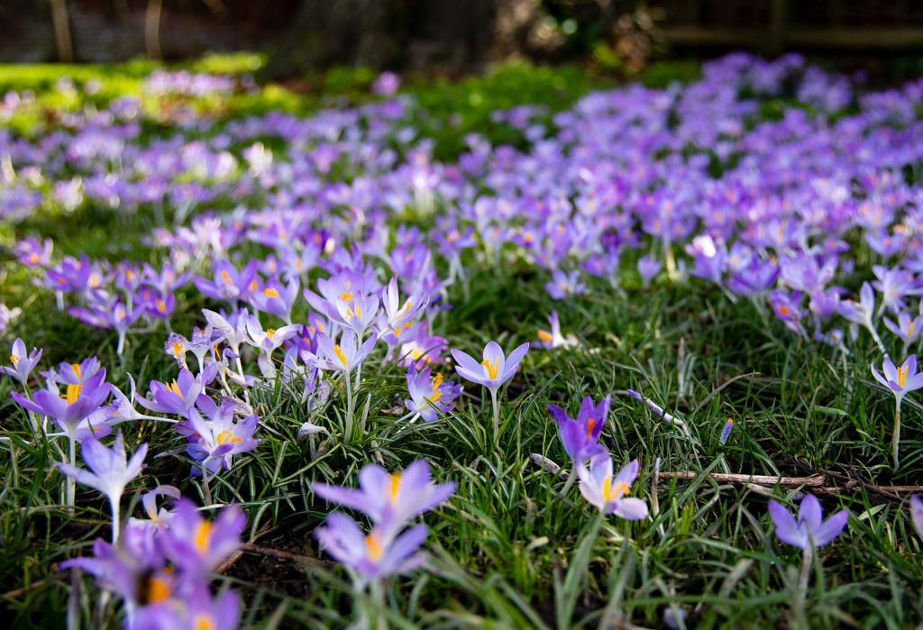 Crocus flowers by peadar