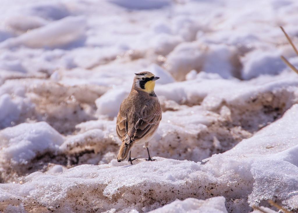 horned lark by aecasey