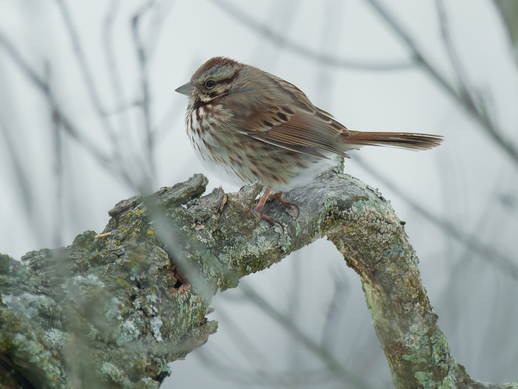 song sparrow  by rminer