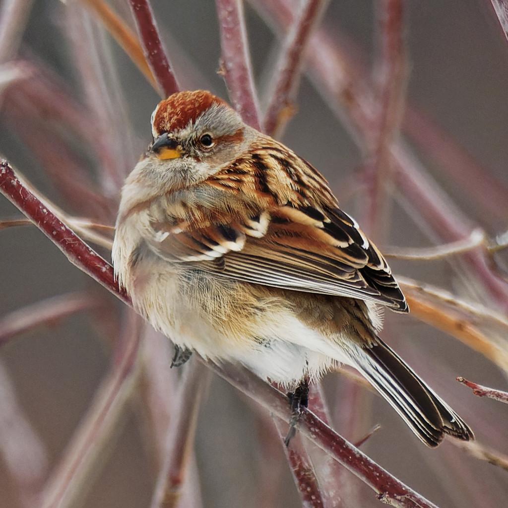 American tree sparrow by rminer