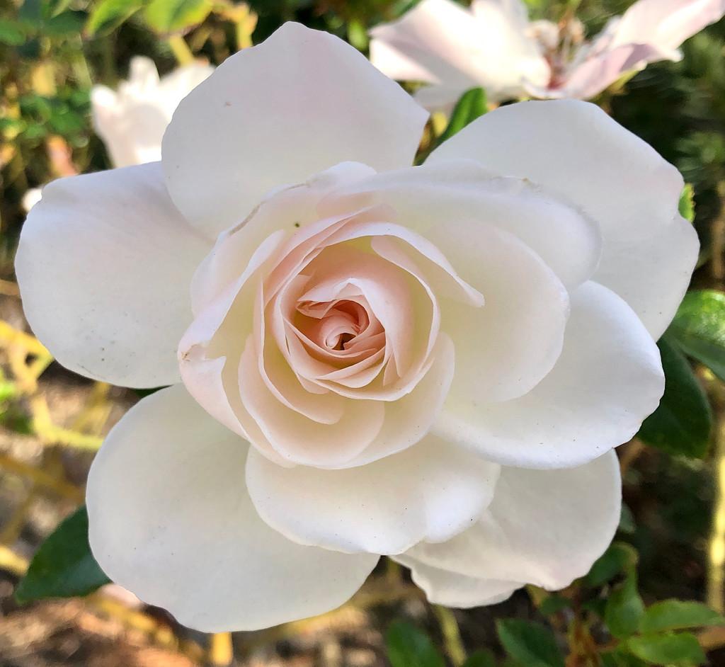 Rose by loweygrace