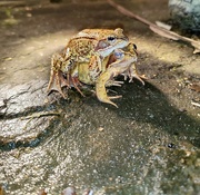 21st Feb 2021 - Froggy Went A-Courtin