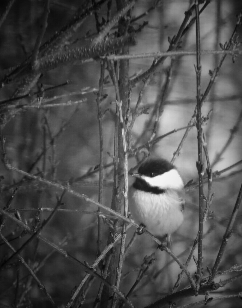 Portrait of a Chickadee by mzzhope
