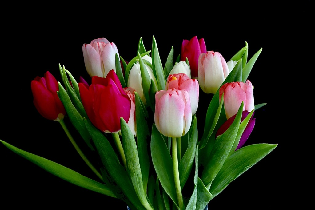 First Tulips by carole_sandford