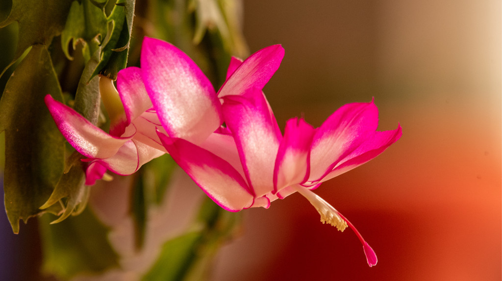 Christmas Cactus Flower! by rickster549