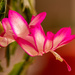 Christmas Cactus Flower!