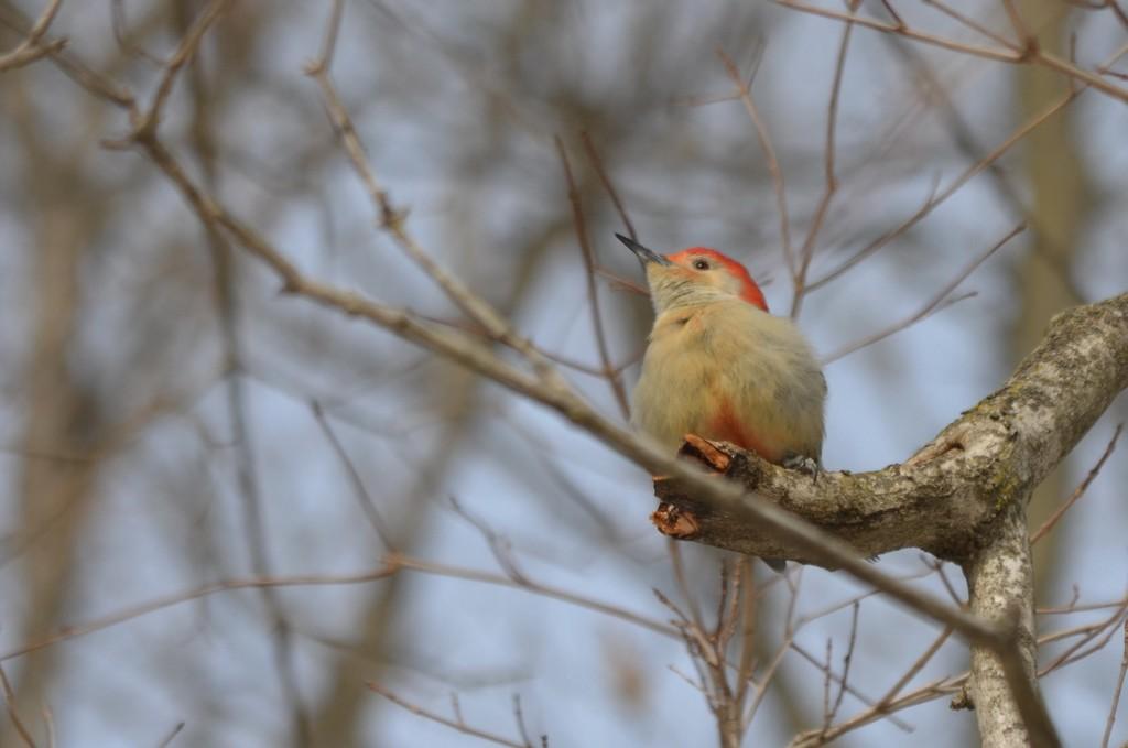 Woodpecker by kdrinkie