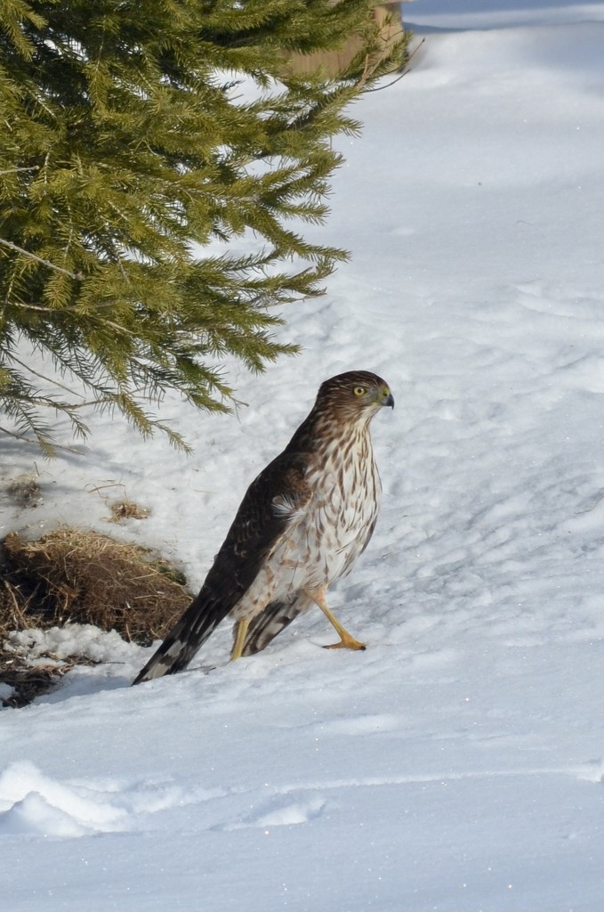 Cooper's hawk is feeding on the birds at my feeders.. by kdrinkie
